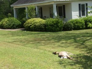 This deer was struck and died in a front yard. After seeking permission, I removed and ate it.