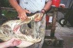 This head belongs to a 12-foot GA alligator.
