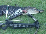 Crossbow, muzzleloading pistol and knife used to take this eating-sized gator.