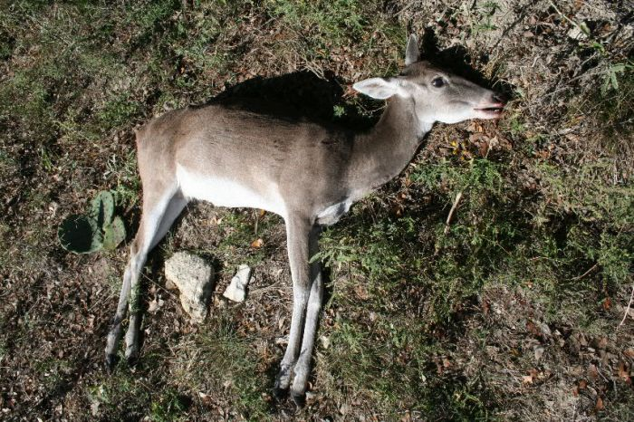 A very old doe with large-size head and shrunken body size caused by its inability to chew its food.