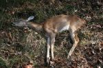 Over population results in diseased deer like this one on a Federal refuge.