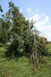 Canning pear tree breaking down with fruit