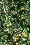 Canning Pear Tree heavy with pears