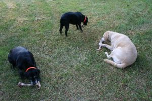 Author's dogs (L-R) Demeter, Diana and Ursus enjoying their boiled deer bones after playing a vital part in the hunt.