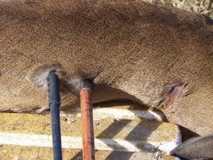 Two of the author's spears thrown into deer carcass. Both penetrated the animal.