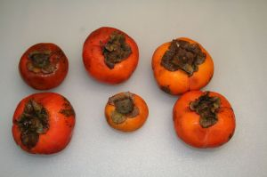 Big seedless Japanese persimmons are more available than the wild products, but are not as tasty.