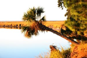 E-mail palm tree and golden marsh Ossabaw Is.