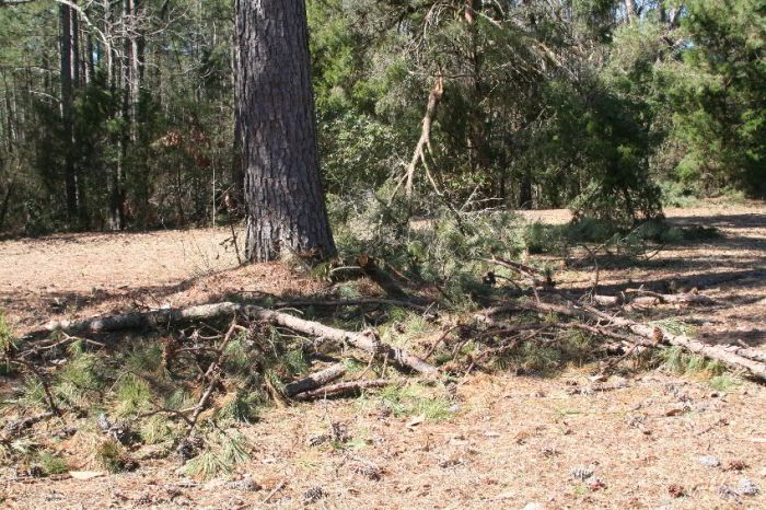 Fallen limbs under pine.